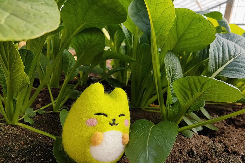 小松菜畑にいるとこっとちゃん
