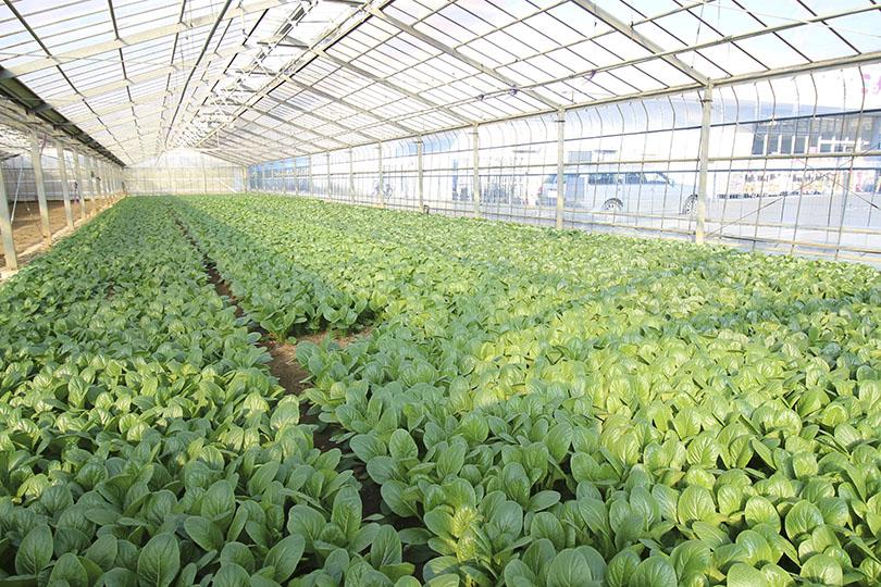 ひらの農園の小松菜畑