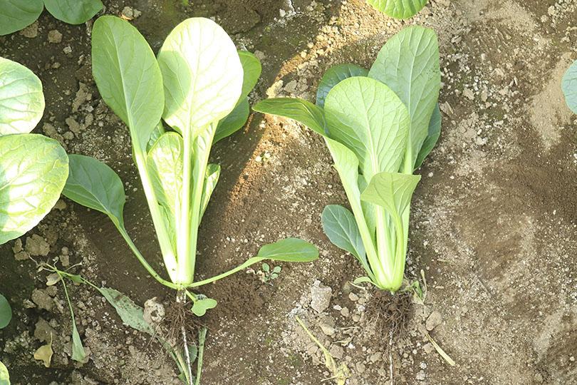 品種が違う小松菜2種類